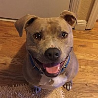 American Pit Bull Terrier Mix Dog for adoption in Rancho Santa Margarita, California - ZZ-Stryker  *courtesy post