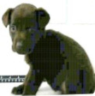 Australian Shepherd/Border Collie Mix Puppy for adoption in Boulder, Colorado - Dallas-Adoption Pending