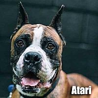 Adopt A Pet :: Atari - Encino, CA