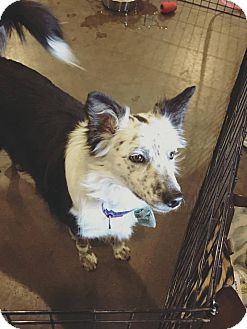 Border Collie Mix Dog for adoption in Allen, Texas - Bailee
