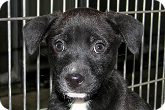 Labrador Retriever Mix Puppy for adoption in Ruidoso, New Mexico - Enya