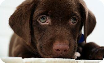 Adopt a puppy labrador retriever