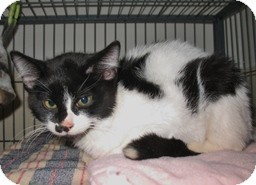 Domestic Shorthair Kitten for adoption in Shelton, Washington - Tac