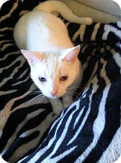Domestic Shorthair Cat for adoption in St. Cloud, Florida - Crystal