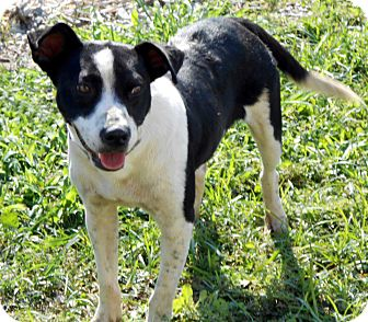 Border Collie Mix Dog for adoption in Port Orange, Florida - Cow