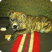 Adopt A Pet :: Sampson - Minneapolis, MN