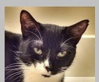 Domestic Shorthair Cat for adoption in Pittsboro, North Carolina - Lulu