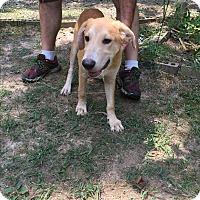 Australian Shepherd/Labrador Retriever Mix Puppy for adoption in Haggerstown, Maryland - Griffon