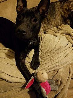Labrador Retriever/Blue Heeler Mix Puppy for adoption in White Settlement, Texas - Rider