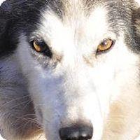 Siberian Husky Mix Dog for adoption in Shingleton, Michigan - Ruby & Sapphire
