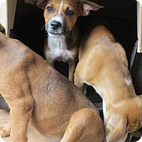 Adopt A Pet :: MERCEDES - Brookside, NJ