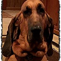 Adopt A Pet :: Abigail - Bastrop, TX