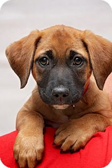 Black Mouth Cur Mix Puppy for adoption in Fort Atkinson, Wisconsin - Fran