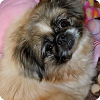 Adopt A Pet :: Cookie(Fostered near Knoxville - Madisonville, TN