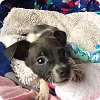 Adopt A Pet :: Roxy - New York, NY