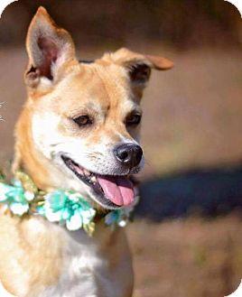 Chihuahua Mix Dog for adoption in Bonaire, Georgia - Piper