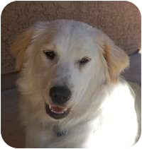 Golden Retriever/Australian Shepherd Mix Dog for adoption in Scottsdale, Arizona - Carmella
