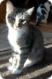 Domestic Shorthair Cat for adoption in Acme, Pennsylvania - Dolby