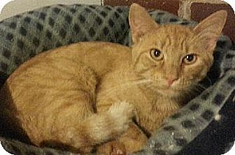 Domestic Shorthair Cat for adoption in Eldora, Iowa - Cheeto
