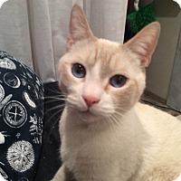 Adopt A Pet :: Adonis-Adoption Pending - Arlington, VA