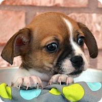 Adopt A Pet :: Santana-Adoption pending - Bridgeton, MO