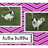 Basset Hound/Australian Shepherd Mix Dog for adoption in Graford, Texas - Augie Doggie