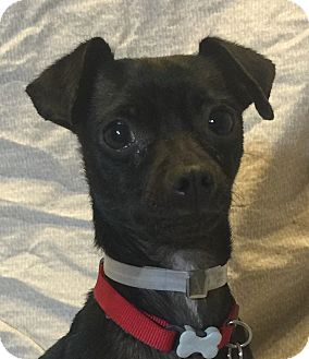 Italian Greyhound/Chihuahua Mix Dog for adoption in San Leandro, California - Khiara