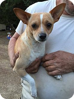 Chihuahua Dog for adoption in Charlotte, North Carolina - HAUS