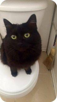 Domestic Longhair Cat for adoption in Lancaster, California - Minie