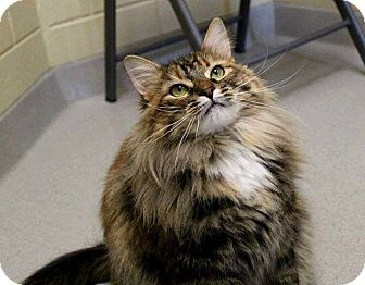 Domestic Mediumhair Cat for adoption in Newland, North Carolina - Camelia