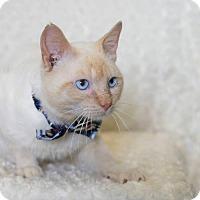 Siamese Cat for adoption in La Porte, Indiana - Jason