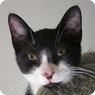 Domestic Shorthair Kitten for adoption in Winchester, California - Saunter