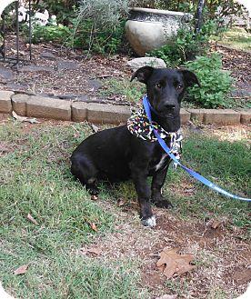 Corgi/Labrador Retriever Mix Puppy for adoption in Adamsville, Tennessee - Buckets