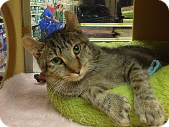 Exotic Cat for adoption in Foothill Ranch, California - Congo