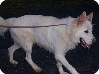 German Shepherd Dog Dog for adoption in Tully, New York - WOLF