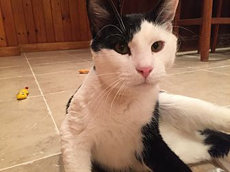 Domestic Shorthair Cat for adoption in Clark, New Jersey - Louie Armstrong