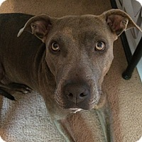 American Staffordshire Terrier Mix Dog for adoption in Olympia, Washington - Olive