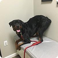 Adopt A Pet :: Rosco - Gilbert, AZ