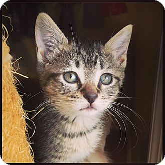 Domestic Shorthair Kitten for adoption in Knoxville, Tennessee - Indy