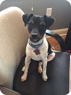 Jack Russell Terrier Mix Dog for adoption in Hayes, Virginia - Jack