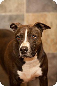 Pit Bull Terrier Mix Dog for adoption in Versailles, Kentucky - Wayne