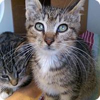 Adopt A Pet :: Nova - Brooklyn, NY