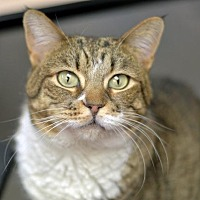 Domestic Shorthair Cat for adoption in Park City, Utah - Martha