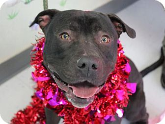 American Pit Bull Terrier Dog for adoption in Erwin, Tennessee - Porkchop