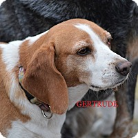 Adopt A Pet :: GERTRUDE - Ventnor City, NJ