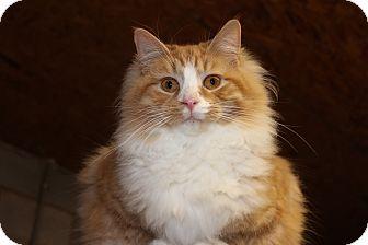 Domestic Longhair Cat for adoption in Maxwelton, West Virginia - Bruno