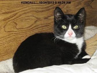 Domestic Shorthair Cat for adoption in Brainardsville, New York - Kendall