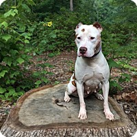 Pit Bull Terrier Dog for adoption in Asheboro, North Carolina - Penelope