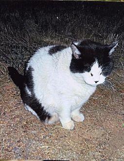 Domestic Shorthair Cat for adoption in McArthur, California - Harley Fat Cat