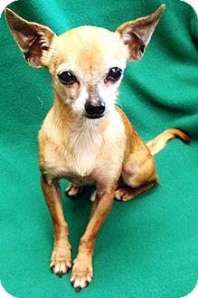 Chihuahua Dog for adoption in Watauga, Texas - Leo